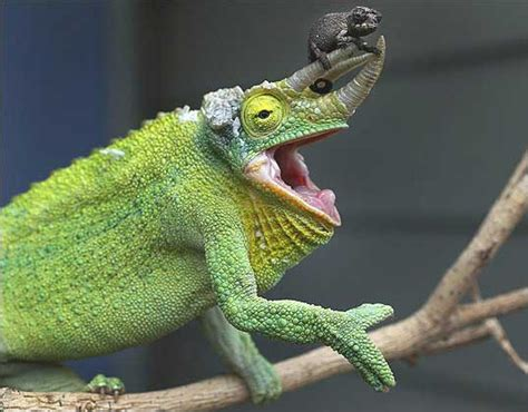 Jackson Chameleon Tongue