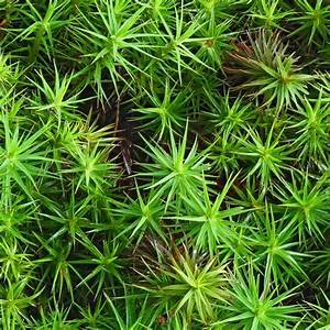 Polytrichum Commune Tray