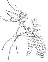 Mosquito Coloring sketch template