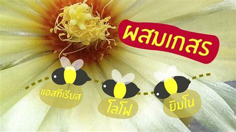 วิธีผสมเกสรแคคตัส และเวลาติดฝัก cactus pollination ( gymnocalycium A.asterias lophophora ) - YouTube