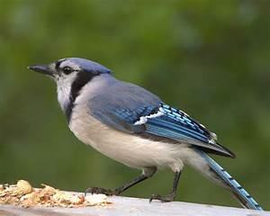 Oiseau Jaune Et Bleu : looks like this guys is wandering around birds of canada pinterest wander and bird ~ Melissatoandfro.com Idées de Décoration