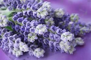 Schopf Lavendel Tee : lavendel der heilende duft ~ Michelbontemps.com Haus und Dekorationen