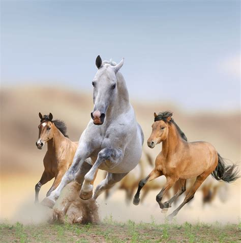 horses wild mustangs facts mustang desert horse america running american feral they galloping types caballos breed run west iberian theme
