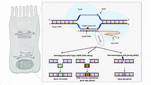 The Crispr  Cas9 System  Cas9 Endonuclease Binds To The