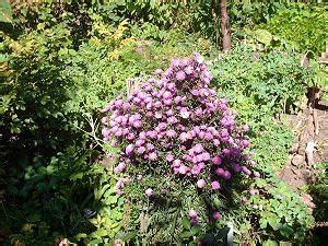Blumenbeet Gestaltung Mehrjährig : astern der gartenratgeber ~ Buech-reservation.com Haus und Dekorationen