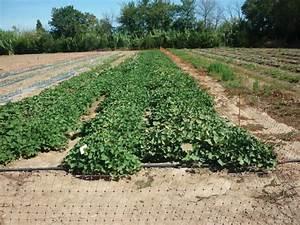 Culture De La Patate Douce : patate douce l 39 autre patate ~ Carolinahurricanesstore.com Idées de Décoration