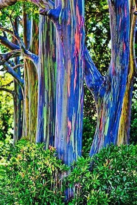 rainbow trees rainbow eucalyptus tree rainbow