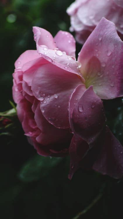 roses background tumblr