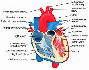 Difference Between Left And Right Ventricle