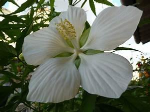 Plantes Exotiques Rustiques : hibiscus coccineus alba page 2 paris c t jardin ~ Melissatoandfro.com Idées de Décoration