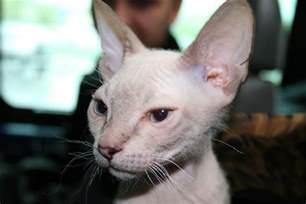 hairless cat breeds hairless cat breeds