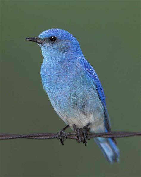 blue birds mountain bluebird audubon field guide