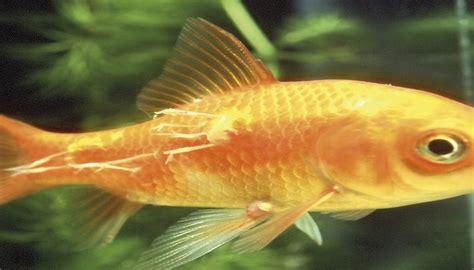 common aquarium fish diseases   treat