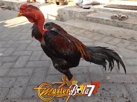 Sabung ayam adalah permainan adu dua ekor ayam dalam sebuah kalangan atau arena. Jenis Ayam Sabung Yang Lebih Kuat Dari Ayam Bangkok ...