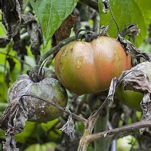 Tomaten Krankheiten Bilder : tomatenkrankheiten bek mpfen bek mpfung von krankheiten an tomaten ~ Frokenaadalensverden.com Haus und Dekorationen
