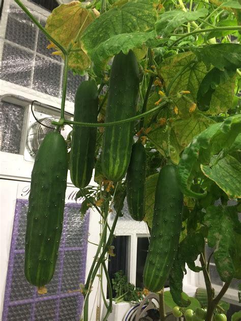 hydroponic grown cucumbers  dutch bucket setup