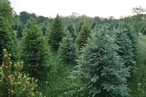 top tree farms in seattle area see if you live to the best tree farm in your state