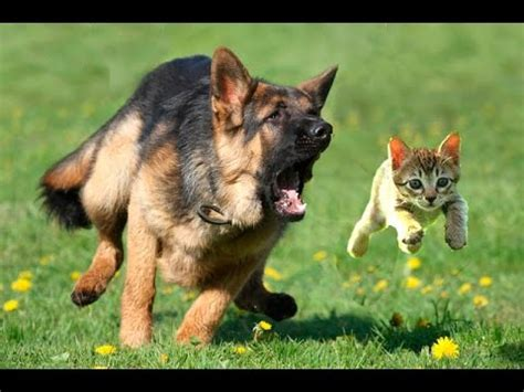 dog chasing cats funny dogs  cats  funny