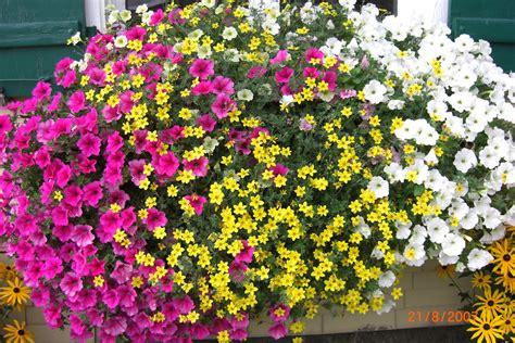 Hängende Blumen Balkon by Balkonblumen H 228 Ngepetunien Balkon Blumen H 228 Nge Petunien