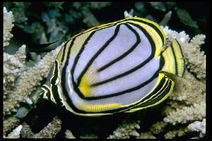 Meyer's Butterfly