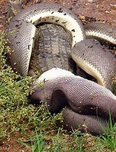 Giant Snake Fights A Crocodile Then Eats It (19 pics)