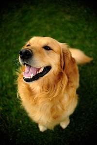 Golden Smile☺ dogs I want: -golden retriever -lab/ lab mix ...