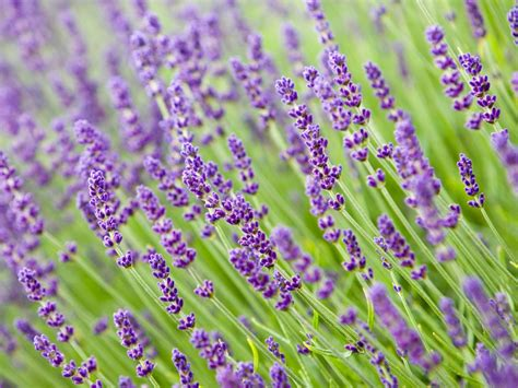 lavender how to plant how to prune lavender plants