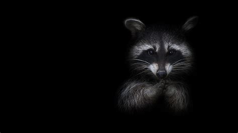 images raccoons animals black background