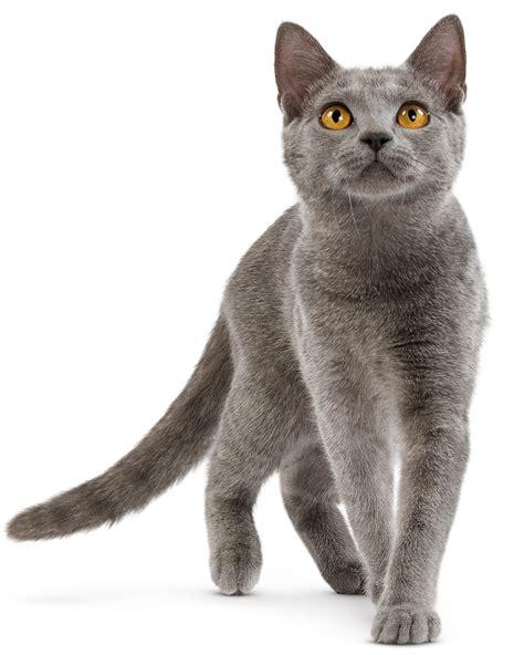 gato pngscreativos