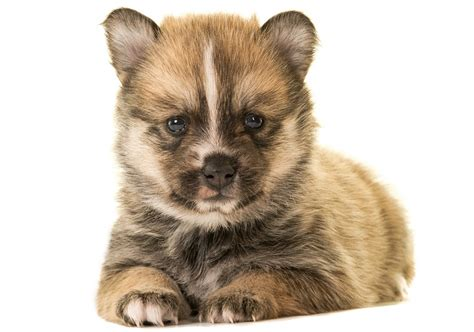 does a pomsky shed a lot pomsky puppies shed hair pomsky picture breeds picture