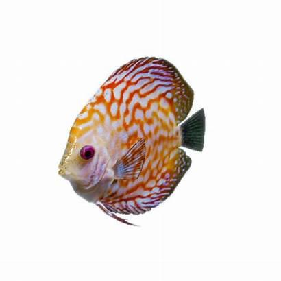Fish Discus Challenge Greenhell Hell Fisherman Habitat