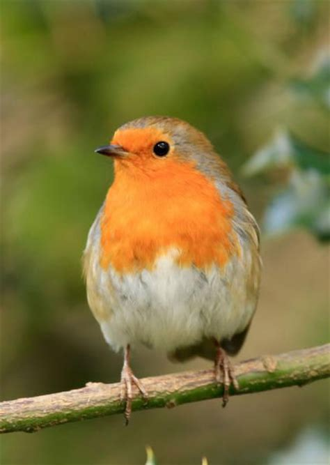 gardens robins and bird food on pinterest
