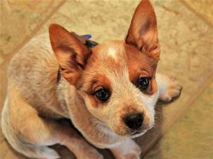 Sydney the Australian Cattle Dog | Puppies | Daily Puppy