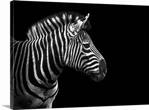 Portrait of zebra in black and white on black background ...