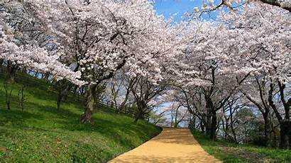 Cherry Blossoms Japan Wallpapers Blossom Nature Background