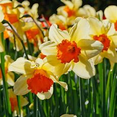 400pcs New Double Narcissus Bulbs Pastel Daffodil Plant Perennial Flower  $132  Picclick Ca