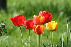 Blumenzwiebeln Pflanzen Frühjahr : blumenzwiebeln im fr hjahr pflanzen so testen sie sie vorher ~ A.2002-acura-tl-radio.info Haus und Dekorationen