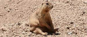 Gunnison's Prairie Dogs - Sevilleta - U.S. Fish and ...