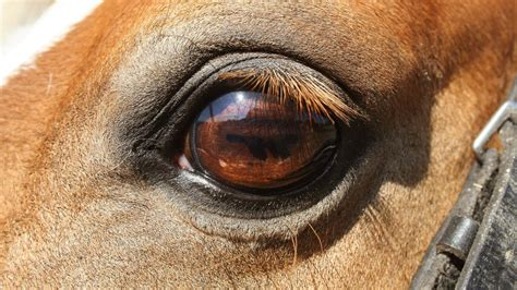 eye eyes horses animals horse painting lashes africa summer brown warm wallpapers friesianfury paintings bizarre truths believe behind never these