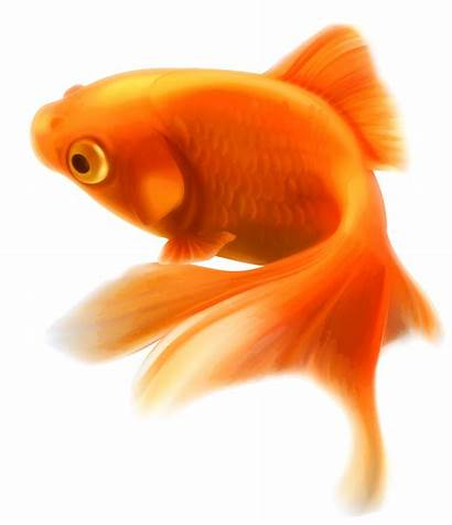 Fish Goldfish Clipart Gold Transparent Background Tropical