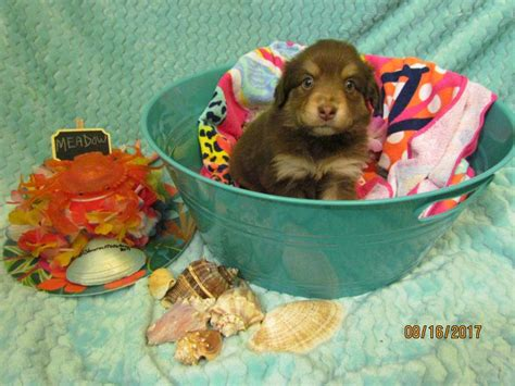 shamrock rose aussies exciting news  litters