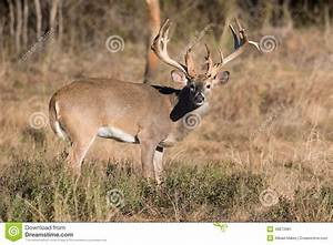 Huge Non-typical big buck stock image. Image of fighting ...