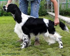 English Springer Spaniel Black And White   www.pixshark ...