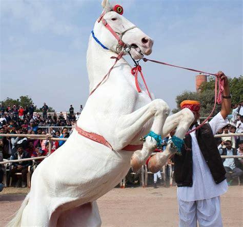 horse marwari breeds horses loyal most smartest
