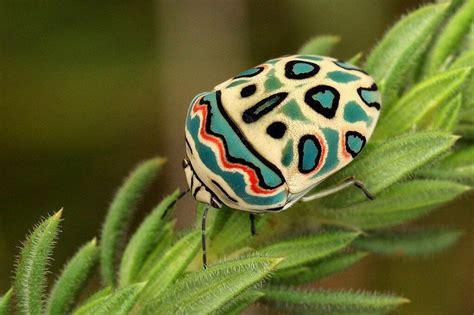 على عكس أنظمة اختراق الحساب الأخرى ، يعمل hps™ عن بعد من جهاز المستخدم. بقة بيكاسو Picasso Bug الأسم العلمي Sphaerocoris annulus هي أحد أنواع البق النتن ، حجمها 8 ملم ...