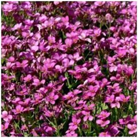 arabette de californie arabis blepharophilla plante vivace exposition plein soleil