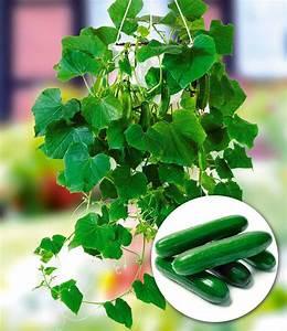 Mini Gurken Pflanzen : h nge mini gurke mini stars f1 1a pflanzen baldur garten ~ Buech-reservation.com Haus und Dekorationen