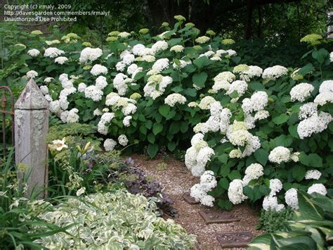 hydrangea size yard on pinterest native plants heuchera and perennials