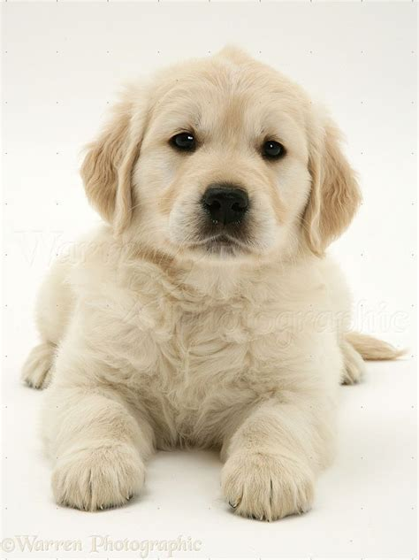 white golden retriever puppies golden retrievers
