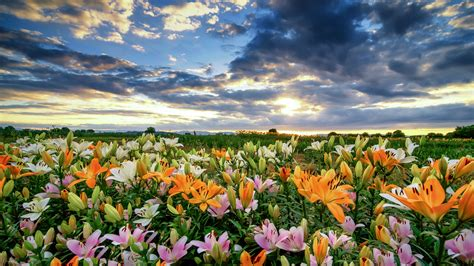 flowers field  lilies orange yellow  pink color sky